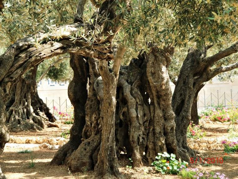 gethsemane-tree