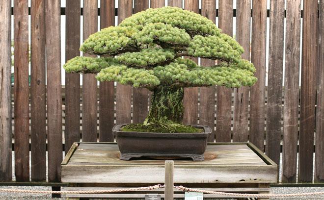 yamaki-pine