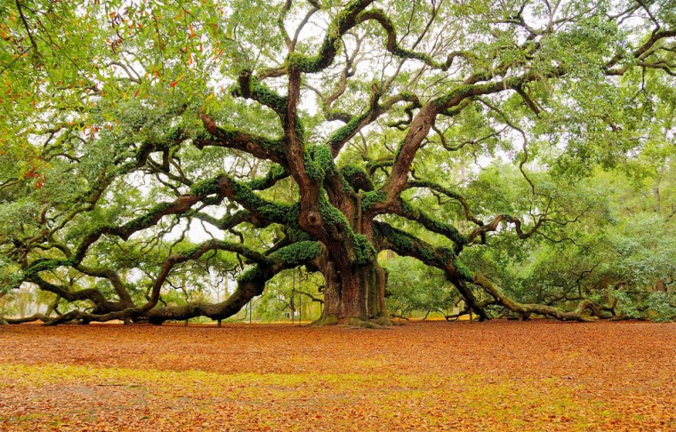 the-angel-oak-tree-charleston