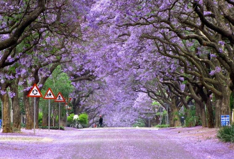 trees-jacaranda-trees-in-bloom-south-africa